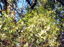 2009eucalyptustree