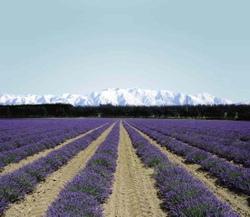 16_nz_lavender_1_1_1_3_1