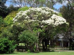 2010teatreeflower