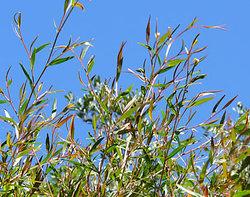 Lemonteatree